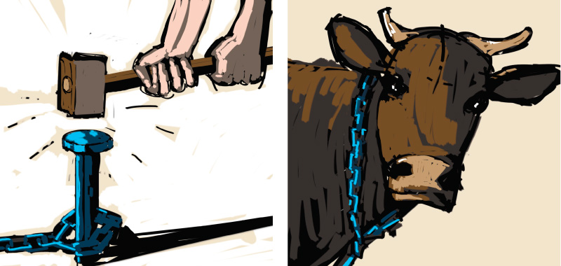 Comic story about country side, Cow to be chained in the field